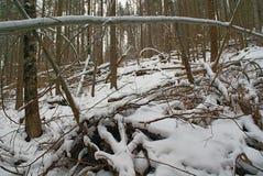Floresta selvagem intransitável com as árvores caídas no inverno Imagem de Stock Royalty Free