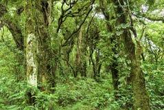 Floresta sempre-verde densa Imagens de Stock Royalty Free