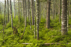 Floresta sempre-verde do Adirondacks Foto de Stock Royalty Free