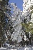 Floresta Snow-covered Fotos de Stock