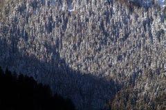 Floresta Snow-covered do pinho Imagens de Stock