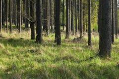 A floresta spruce Fotos de Stock Royalty Free