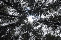 Floresta Spruce Foto de Stock