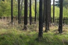 A floresta spruce com a cerca de madeira Foto de Stock Royalty Free