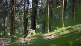 Floresta Spruce da ?rvore vídeos de arquivo