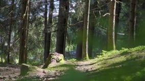 Floresta Spruce da ?rvore filme