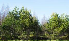 Floresta Spruce no dia ensolarado da mola Imagem de Stock