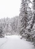 Floresta Spruce no inverno imagem de stock