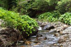 Floresta Spruce nos Carpathians ucranianos Ecossistema claro sustentável Imagens de Stock