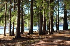 A floresta spruce perto do lago Fotos de Stock Royalty Free