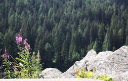 Floresta suíça em cumes das montanhas, verão fotos de stock royalty free