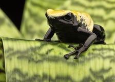 Floresta tropical amarela de Brasil da rã do dardo do veneno Fotografia de Stock Royalty Free
