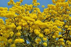 A floresta tropical amarelada floresceu a árvore Imagem de Stock Royalty Free