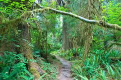 Floresta tropical de Hoh Fotografia de Stock Royalty Free