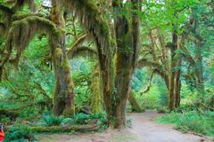 Floresta tropical de Hoh Fotos de Stock
