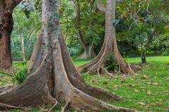 Floresta tropical havaiana no Koolaus Fotos de Stock
