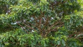 Floresta tropical havaiana no Koolaus Fotos de Stock Royalty Free