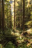 Floresta tropical na ilha de Vancôver, Columbia Britânica, Canadá Fotos de Stock