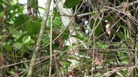 Floresta tropical nativa das Amazonas do pássaro da trepadeira de árvore com sons nativos vídeos de arquivo