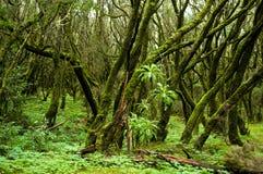 Floresta tropical no parque nacional de Garajonay (La Gomera) Fotografia de Stock
