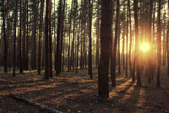 Floresta ucraniana Fotos de Stock Royalty Free