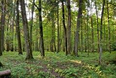 Floresta velha Fotografia de Stock