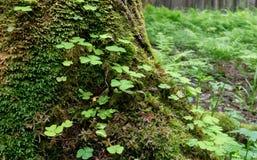 Floresta velha com árvores e as plantas verdes fotografia de stock royalty free