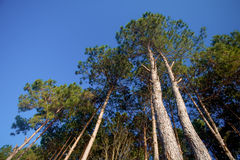 Floresta velha do pinho Fotos de Stock Royalty Free