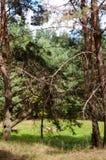 Floresta velha do pinho fotografia de stock royalty free