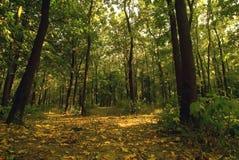 Floresta verde. Fotografia de Stock Royalty Free