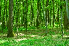Floresta verde Fotografia de Stock Royalty Free