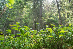 Floresta verde Fotografia de Stock