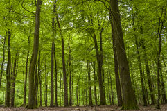 Floresta verde bonita - árvores e folhas Imagens de Stock