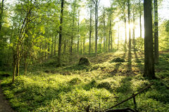 Floresta verde bonita Imagens de Stock Royalty Free