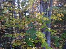 Floresta verde-clara & amarela dos outonos imagens de stock royalty free