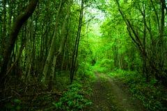 Floresta verde com alho selvagem na mola em Estônia, Europa Imagem de Stock