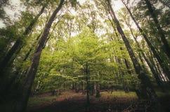 Floresta verde com as árvores altas no verão Fotografia de Stock Royalty Free
