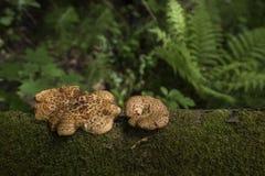 A floresta verde cresce rapidamente musgo da samambaia Fotografia de Stock Royalty Free