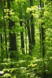 Floresta verde da mola Fotografia de Stock