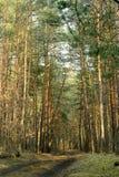 Floresta verde da mola em raios do sol Imagem de Stock