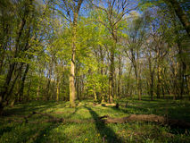 Floresta verde da mola em raios do sol Imagem de Stock Royalty Free
