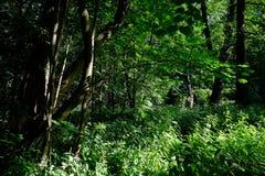 Floresta verde da mola em raios do sol Fotos de Stock