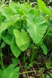 Floresta verde da planta do Caladium Imagens de Stock
