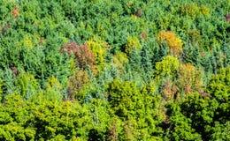 Floresta verde densa que começa girar para cores do outono Fotos de Stock