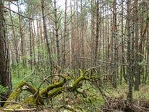 Floresta verde do pinho Imagens de Stock Royalty Free