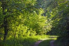 Floresta verde do verão Foto de Stock