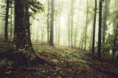 Floresta verde encantado com névoa Foto de Stock Royalty Free