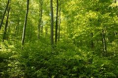 Floresta verde luxúria no tempo de mola adiantado Fotos de Stock Royalty Free