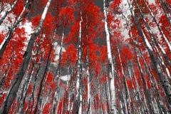 Floresta vermelha de árvores do álamo tremedor da queda em um Roc preto e branco de Colorado imagem de stock royalty free