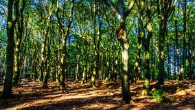 Florestas bonitas da região de Veluwe nos Países Baixos imagens de stock royalty free